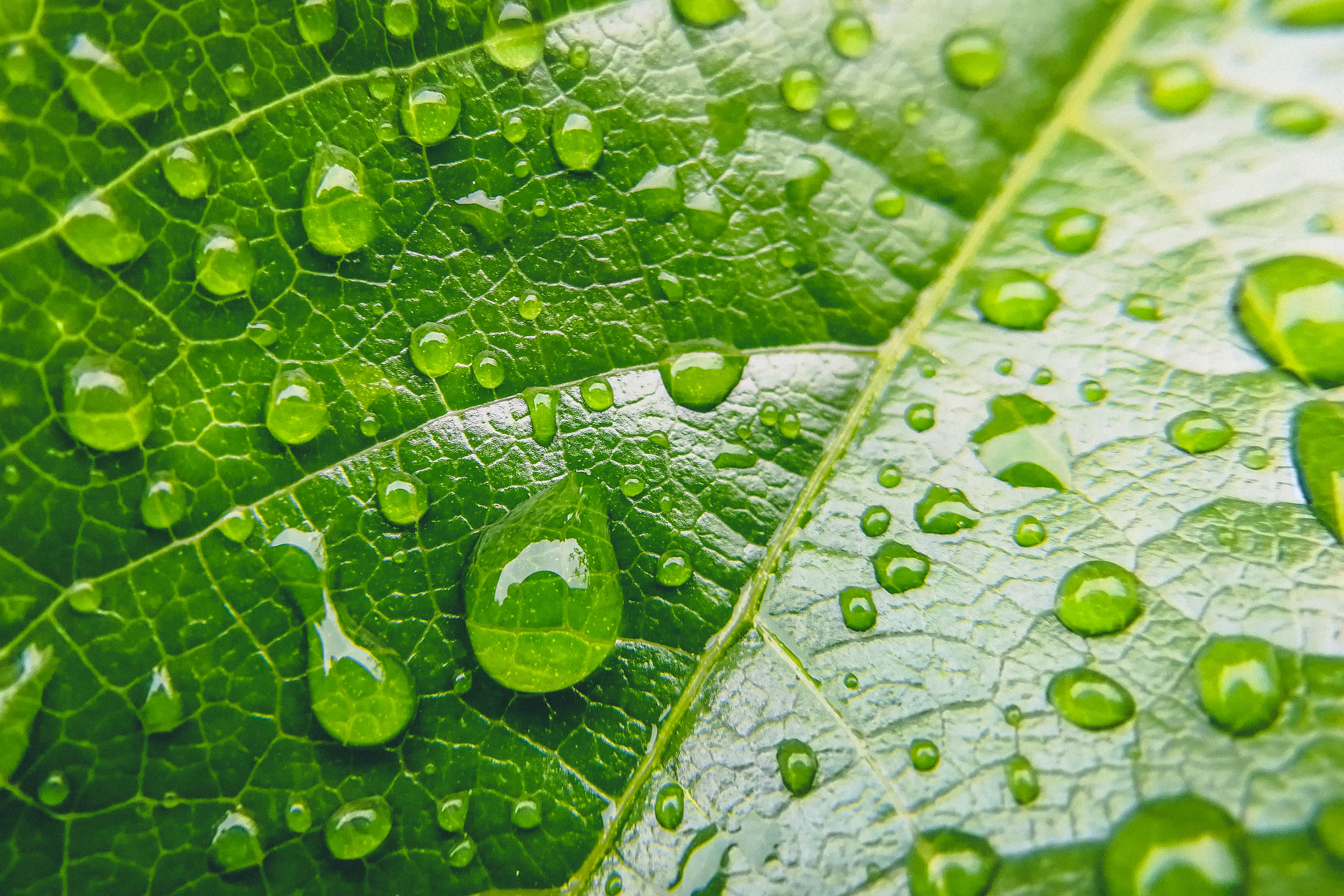 Close up photo of water drops on a green leaf